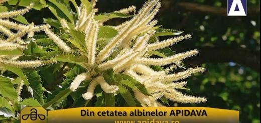 ACC - CA - Mierea de castan - Apidava - realizator Cecilia Caragea